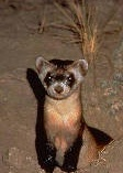 black_footed_ferret-single1