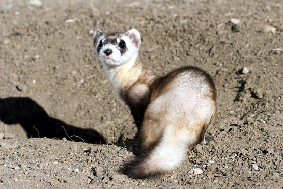 ferret_looking_back_low_res_a1
