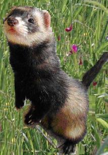 full-standing-ferret